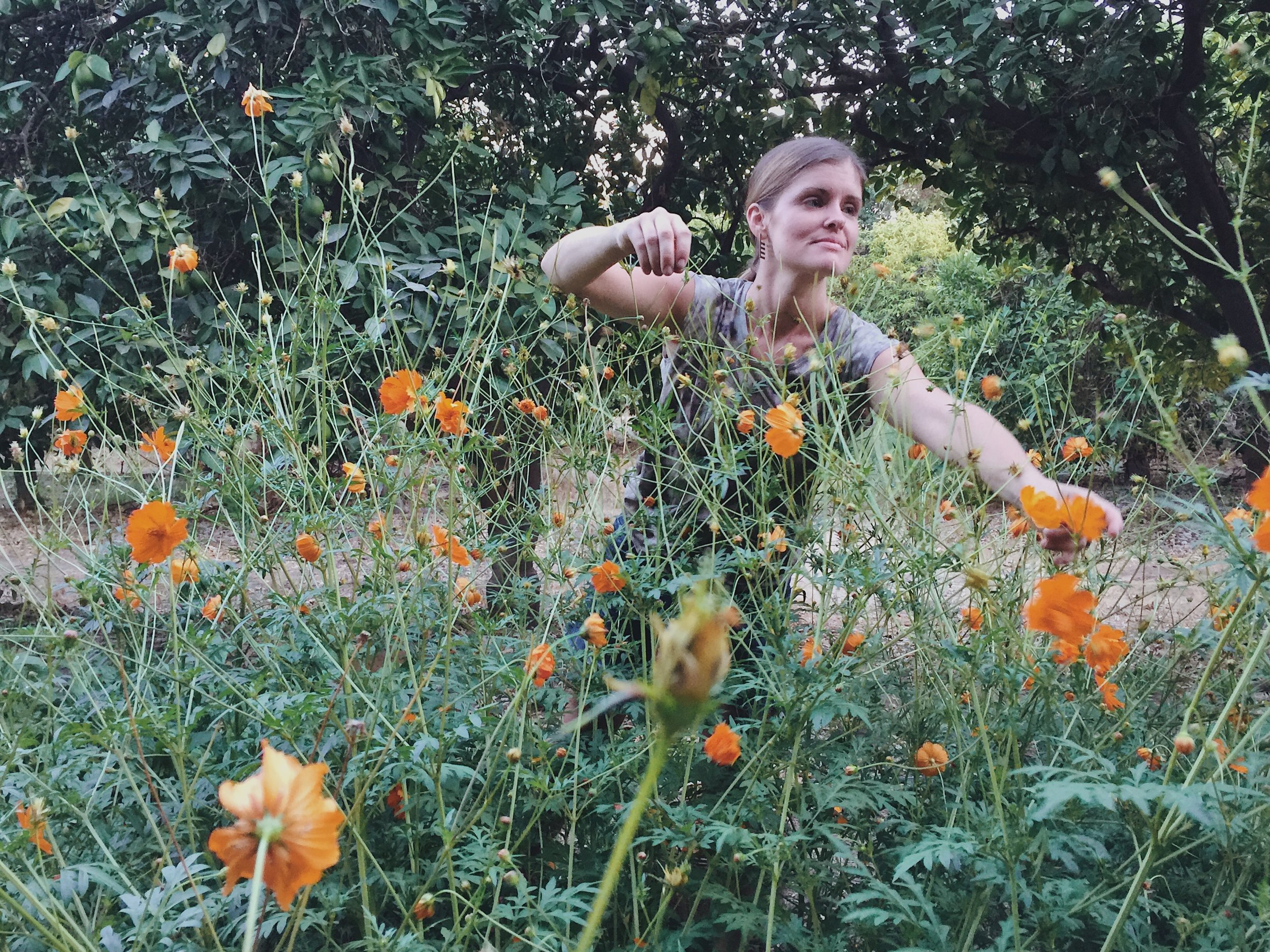 picking sulfur cosmos in the dye garden