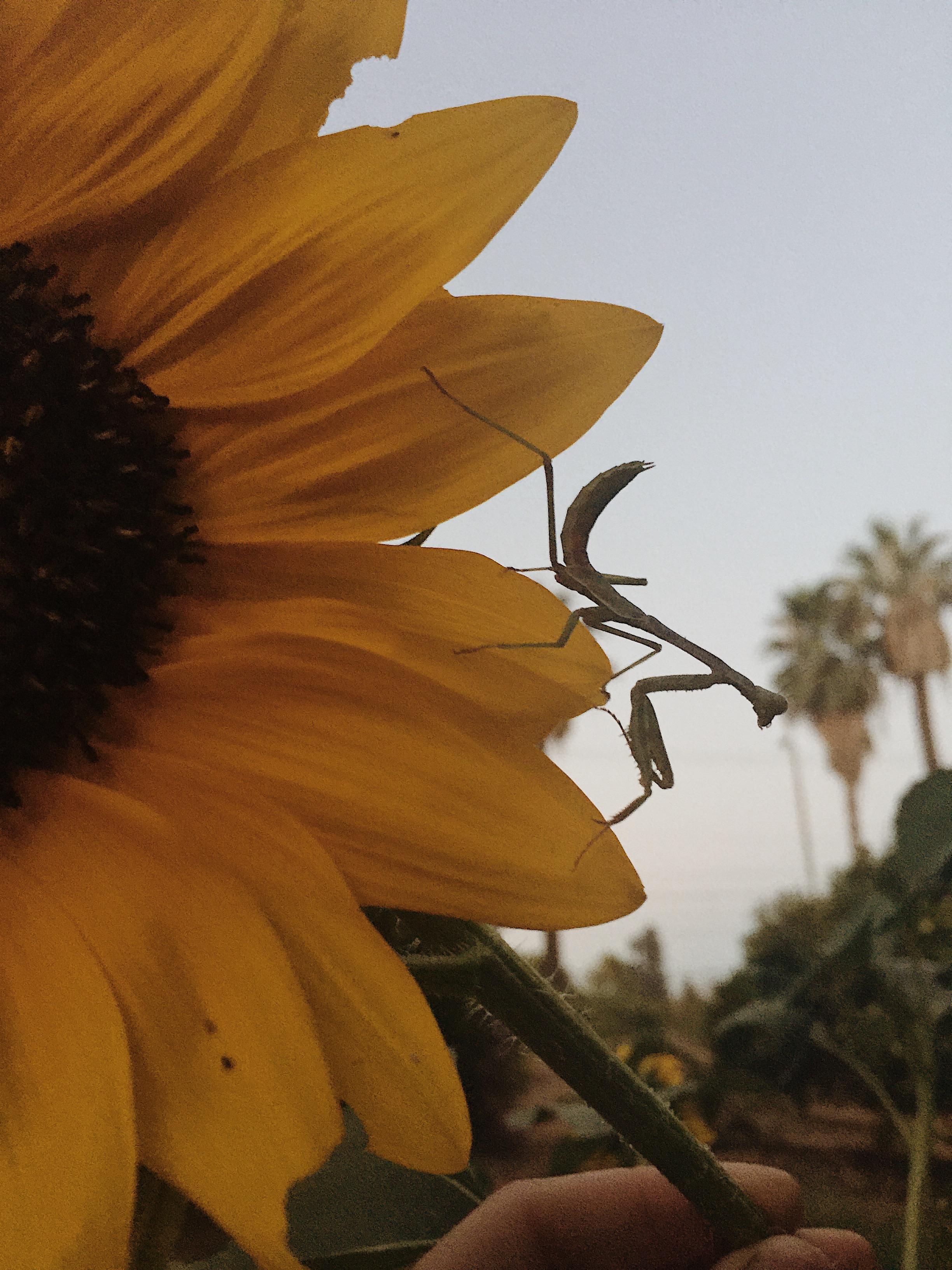 praying mantis on a hopi sunflower in the orange grove dye garden