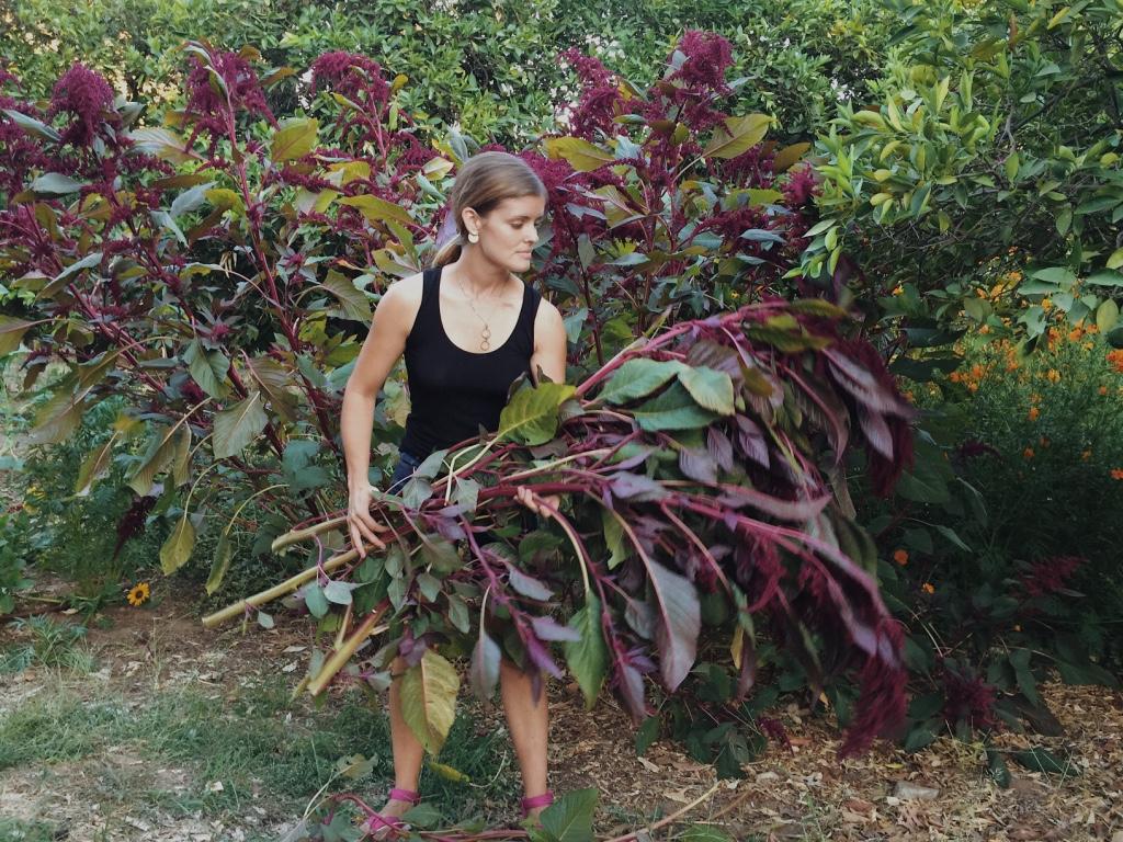 harvesting hopi red amaranth from the dye garden