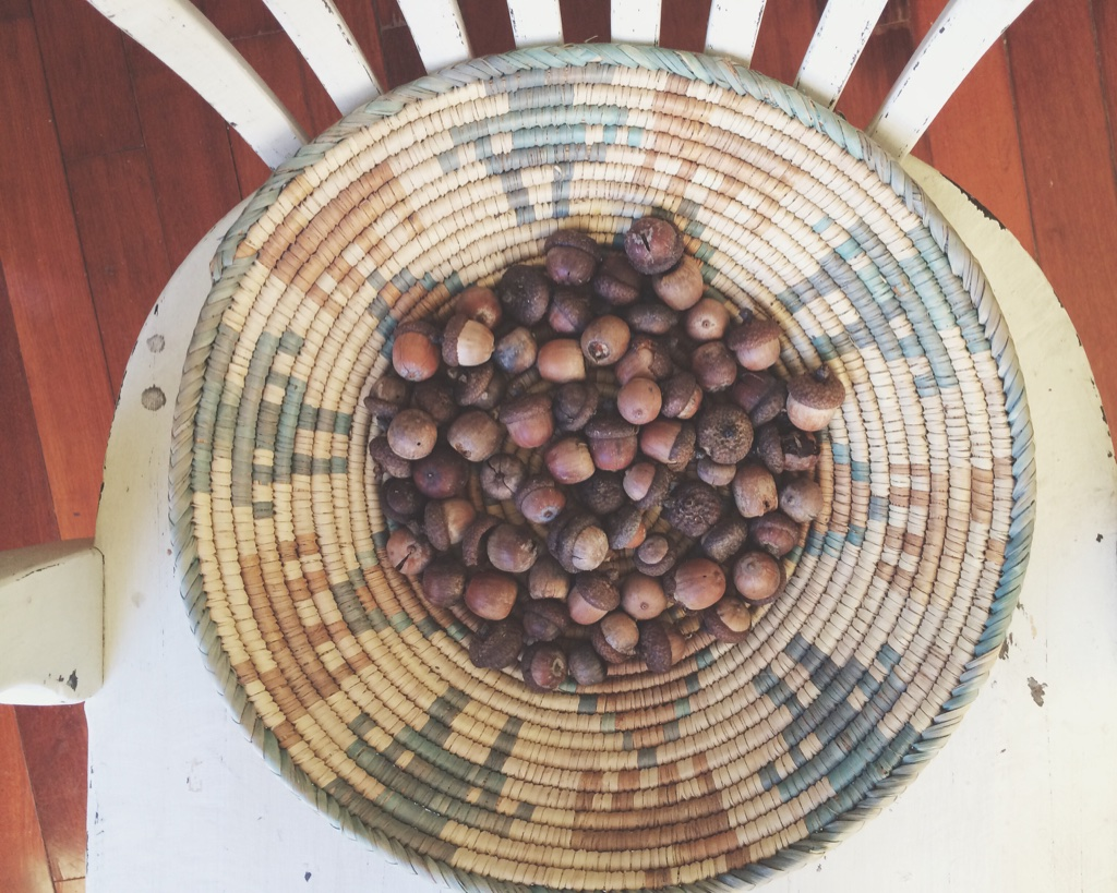 acorns collected for making natural mordant