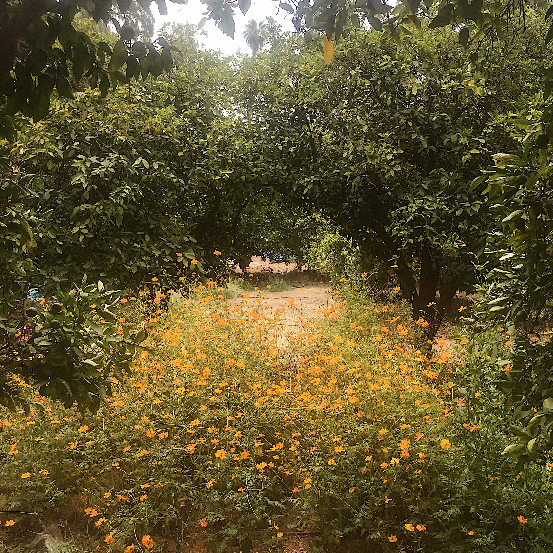 cosmos flowers in the orange grove dye garden