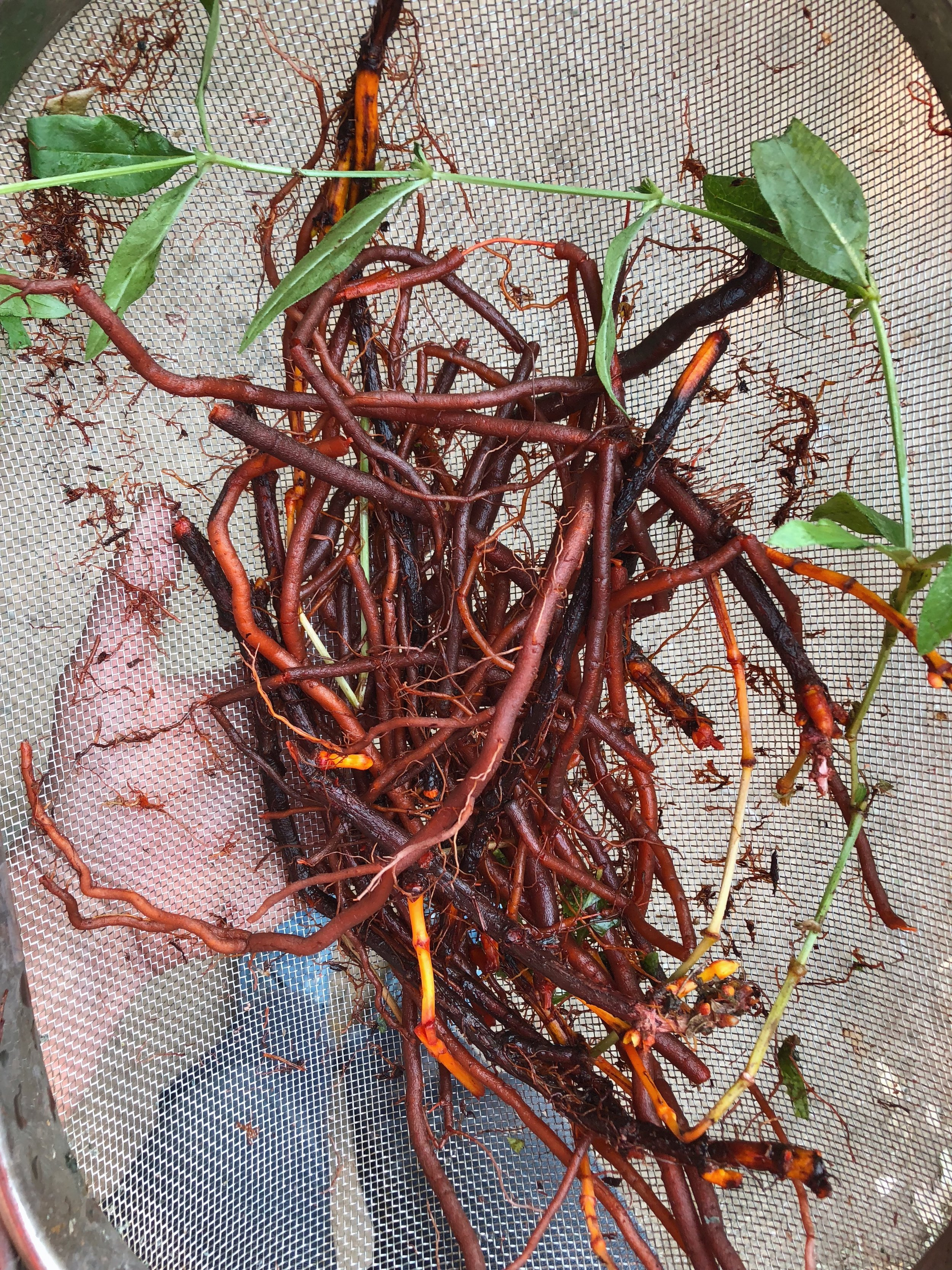 Madder root freshly dug up from the ground & rinsed