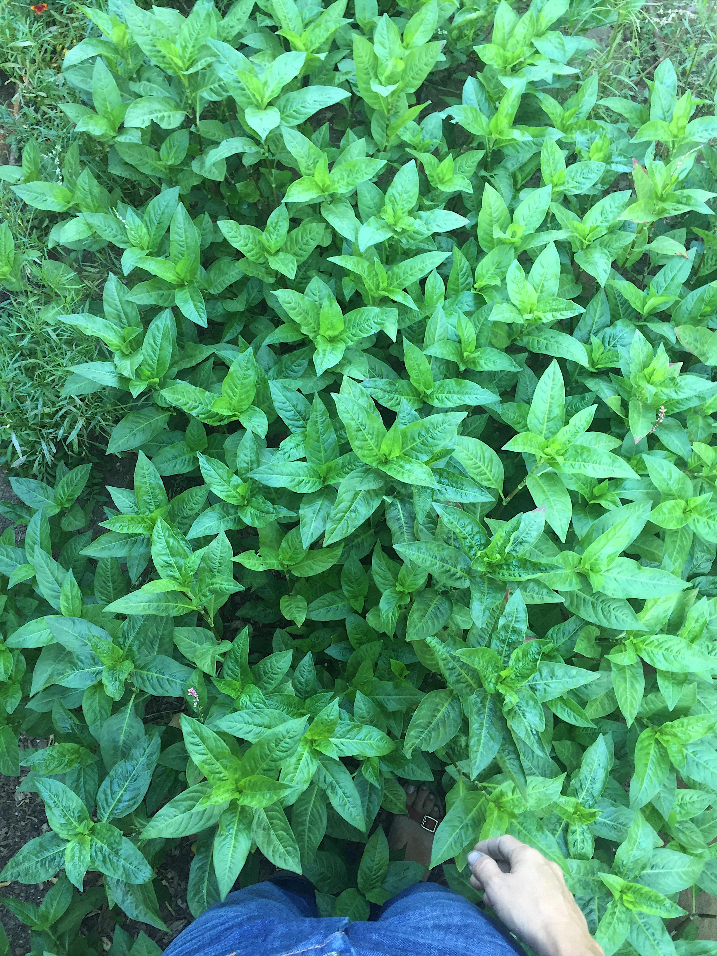 nearly waist high indigo in my garden