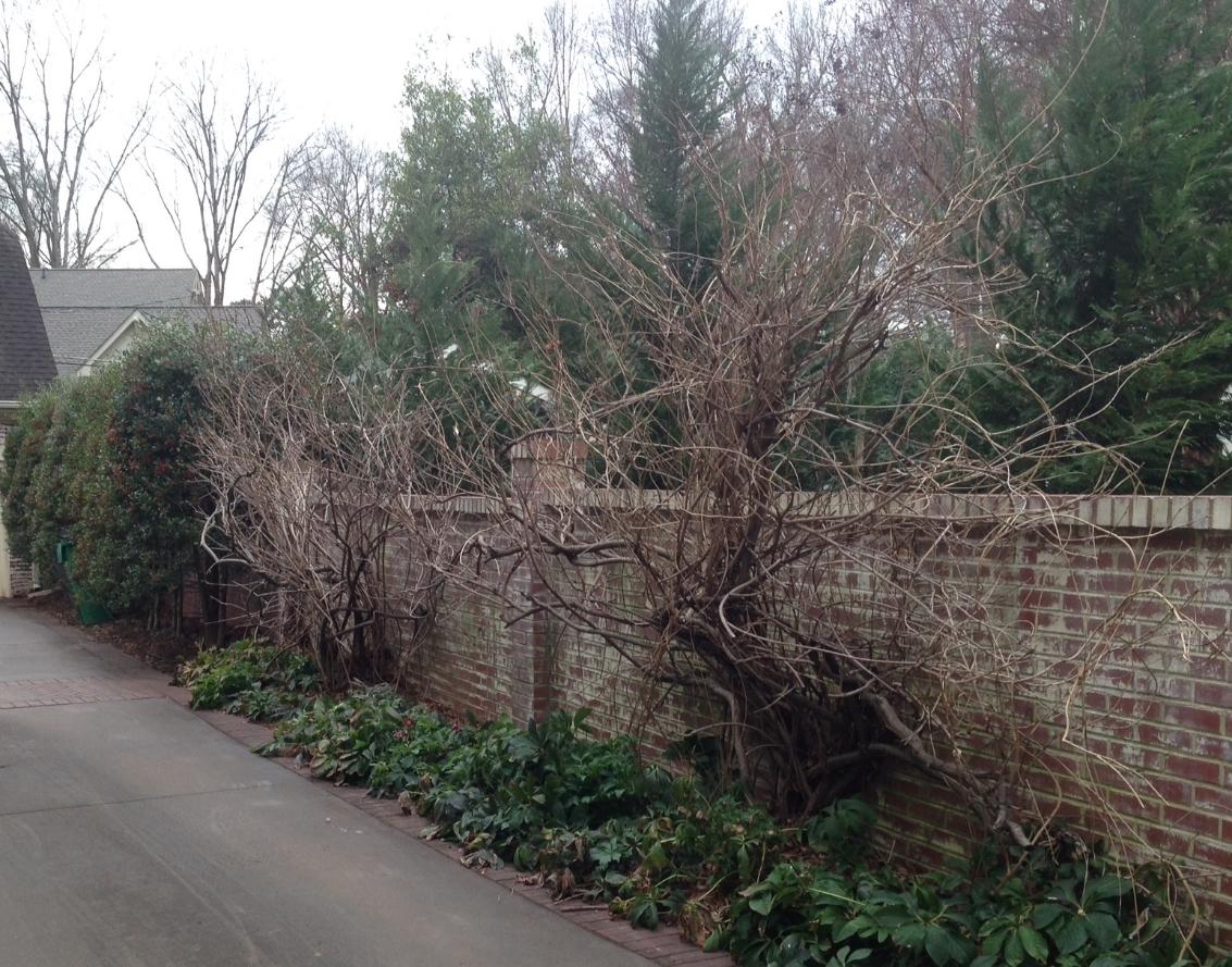 wisteria before.JPG