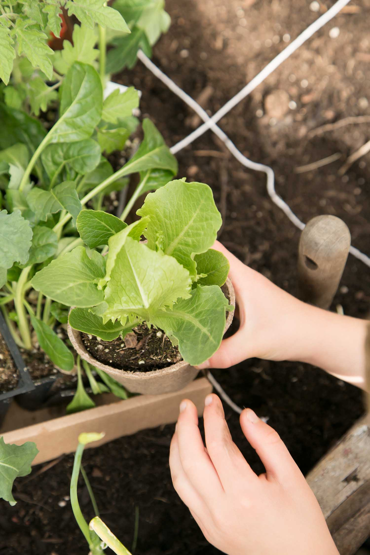 children's garden planting lettuce