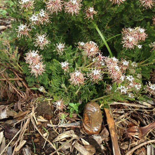 kraaifontein spiderhead . cape flats sand fynbos . kirstenbosch national botanical garden . cape town . south africa 27.06.14