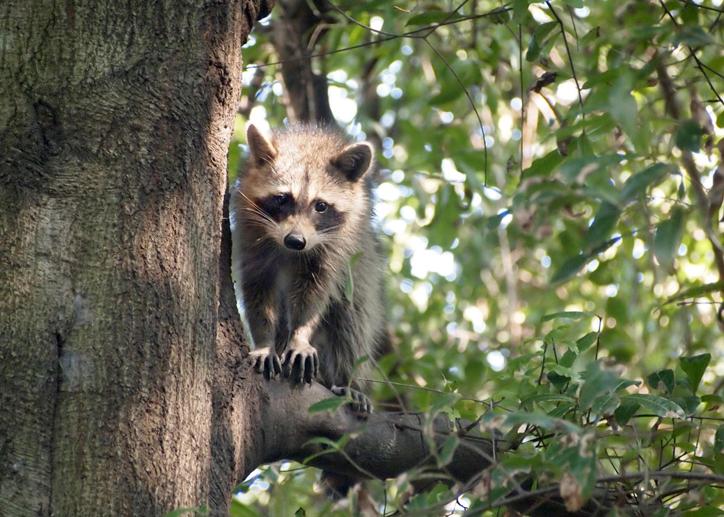 Raccoon1WEB.jpg