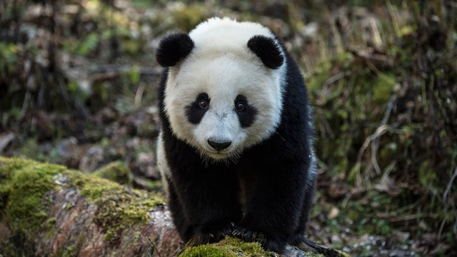 Earth: A New Wild's first episode includes a story about humans re-wilding pandas in China. Photo Credit: PBS.org