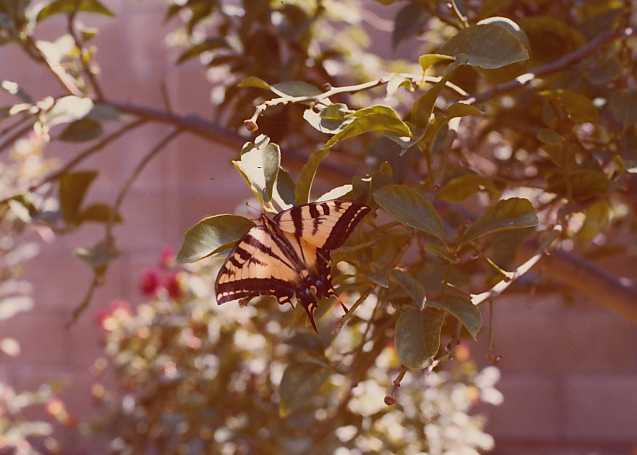 A photo of a beautiful butterfly that was taken in their backyard.