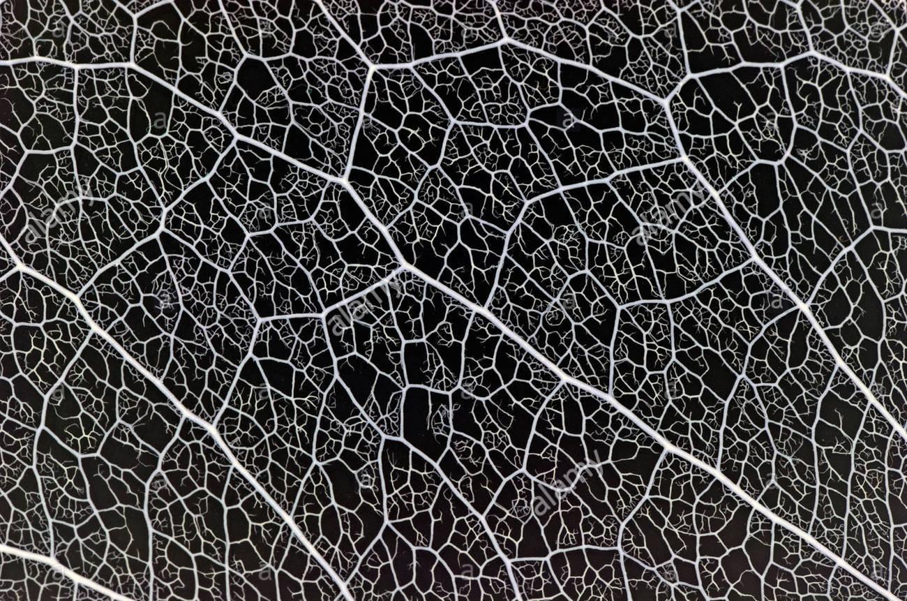 a-skeletal-macrophotograph-of-decayed-leaf-macrophotographie-des-nervures-A11DMM.jpg