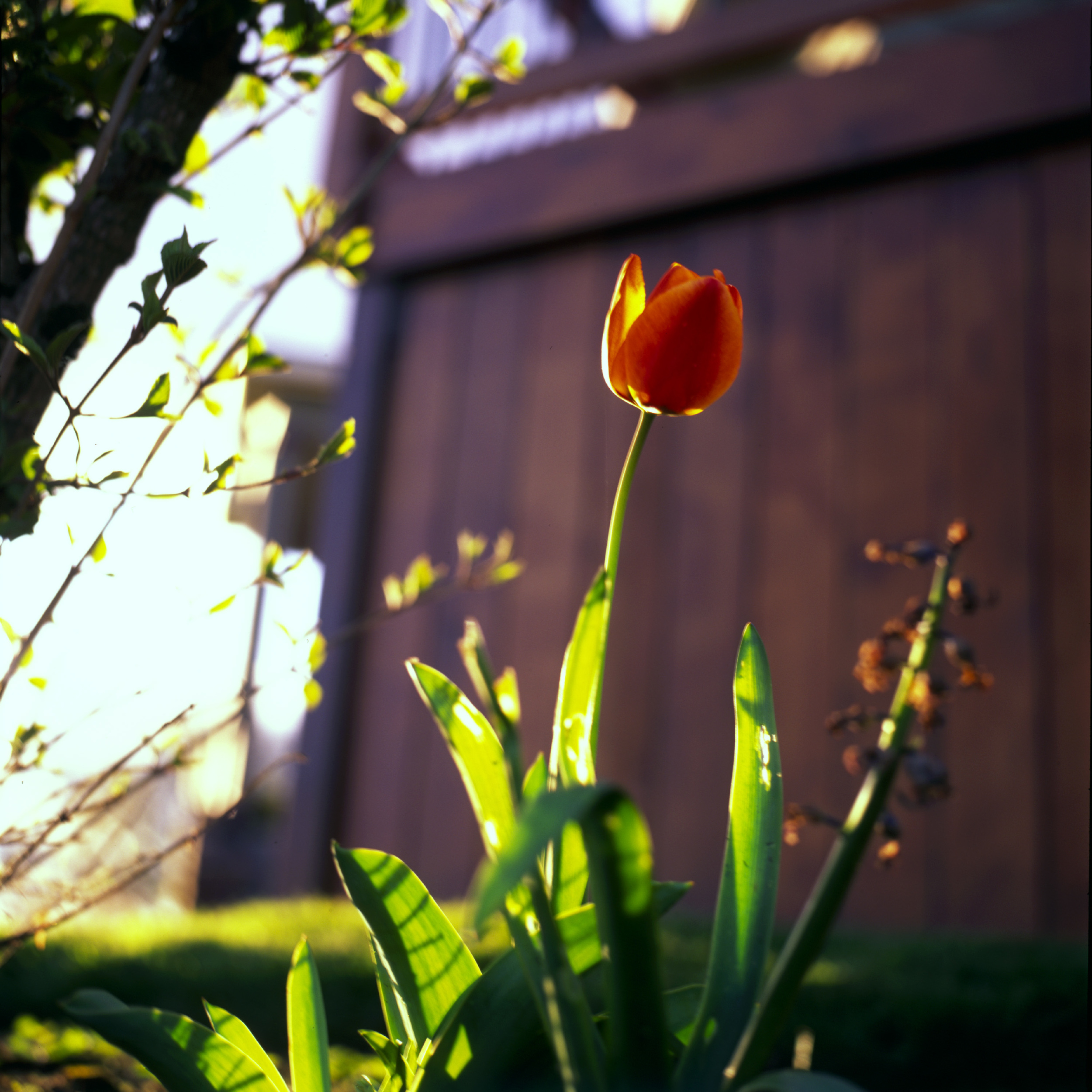 Tulip bathing in the golder hour sun.