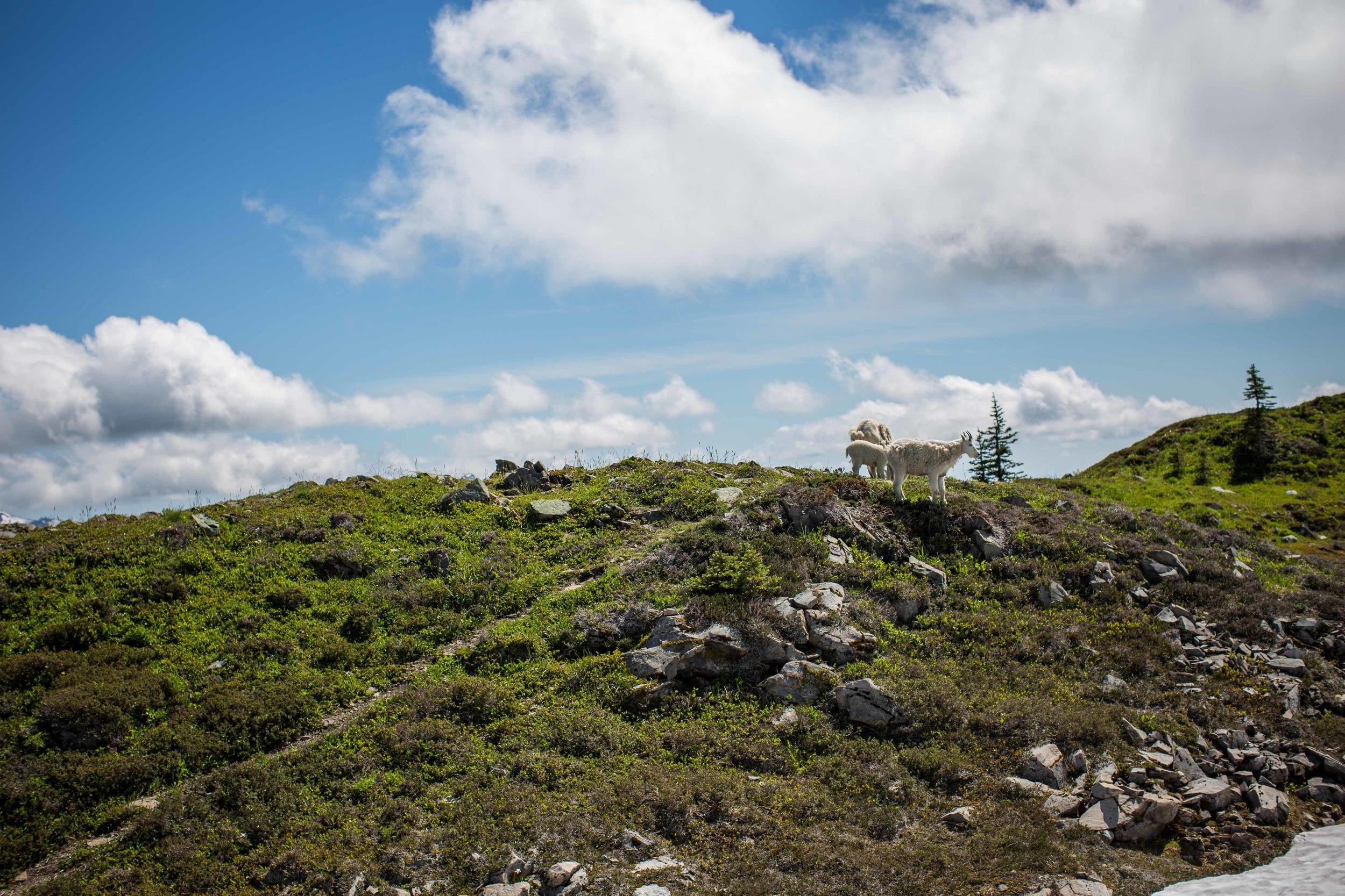 A family of goats came to visit us near Bogachiel Peak