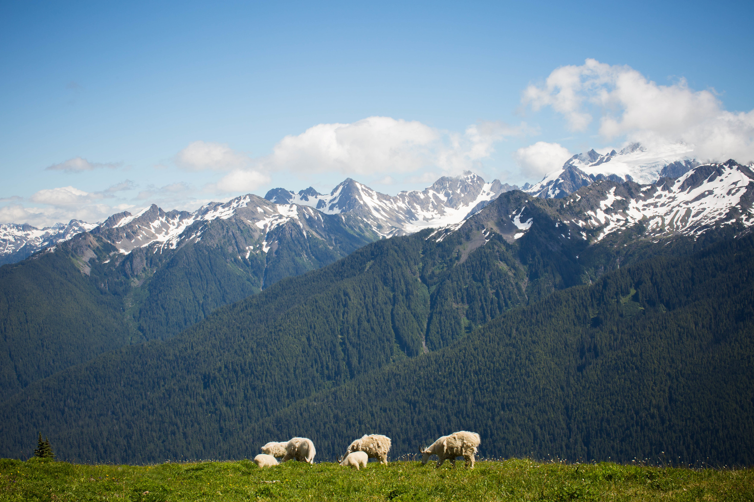View of the goats and the mountains after the fog lifted.