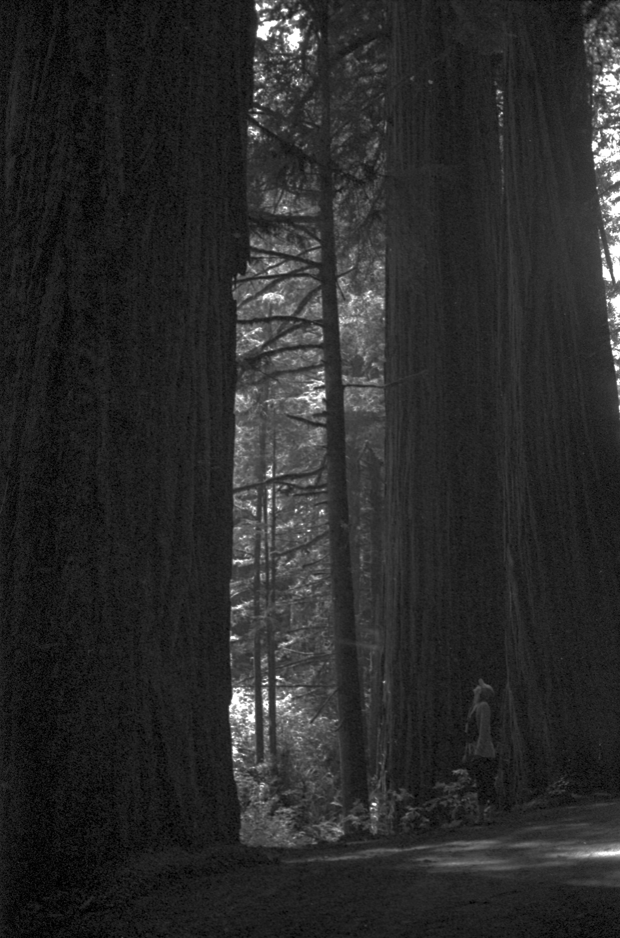 Feeling small in the redwood forest.