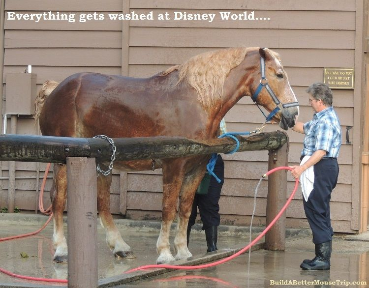 Beautiful draft horse getting at bath at the Walt Disney World Resort