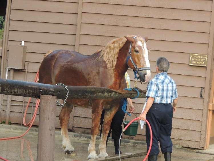See large draft horses at the Tri-Circle-D Farm at Disney World