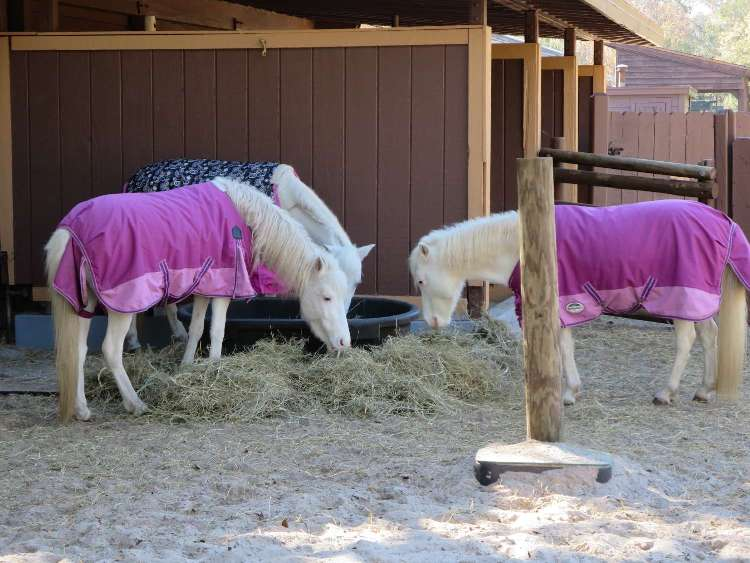See Cindrella's little white ponies at the Tri-Circle-D Farm at Disney World