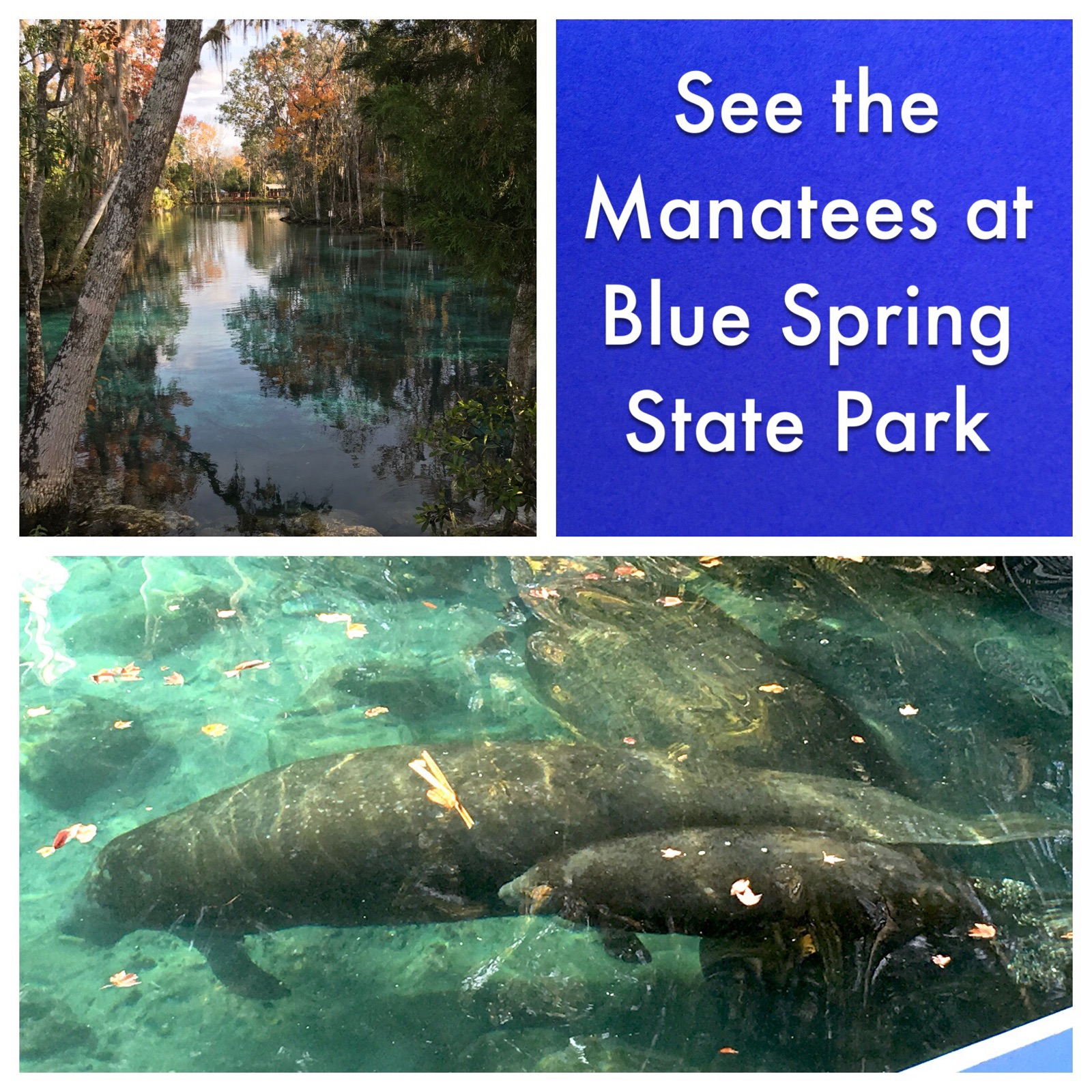 Blue Springs State Park in Orange City, Florida is the winter home of hundreds of manatees.  Located a little over an hour away from Disney World.
