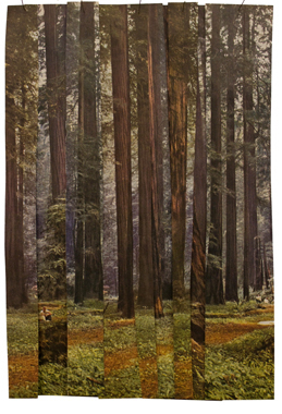 "East Coast Redwoods  , 2012  10"" x 8"" and 14"" x 11"" prints available"