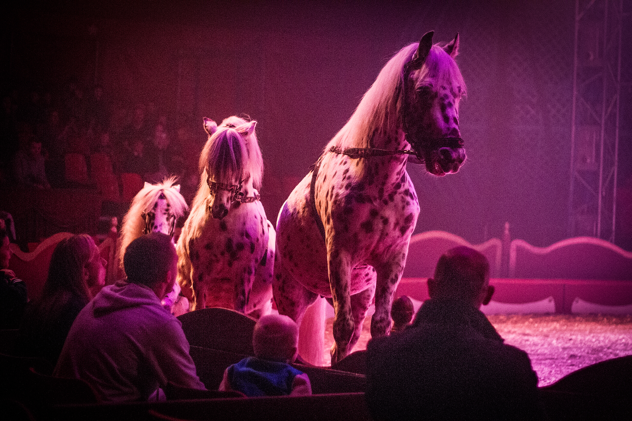 Dalmatian ponies get close to the audience