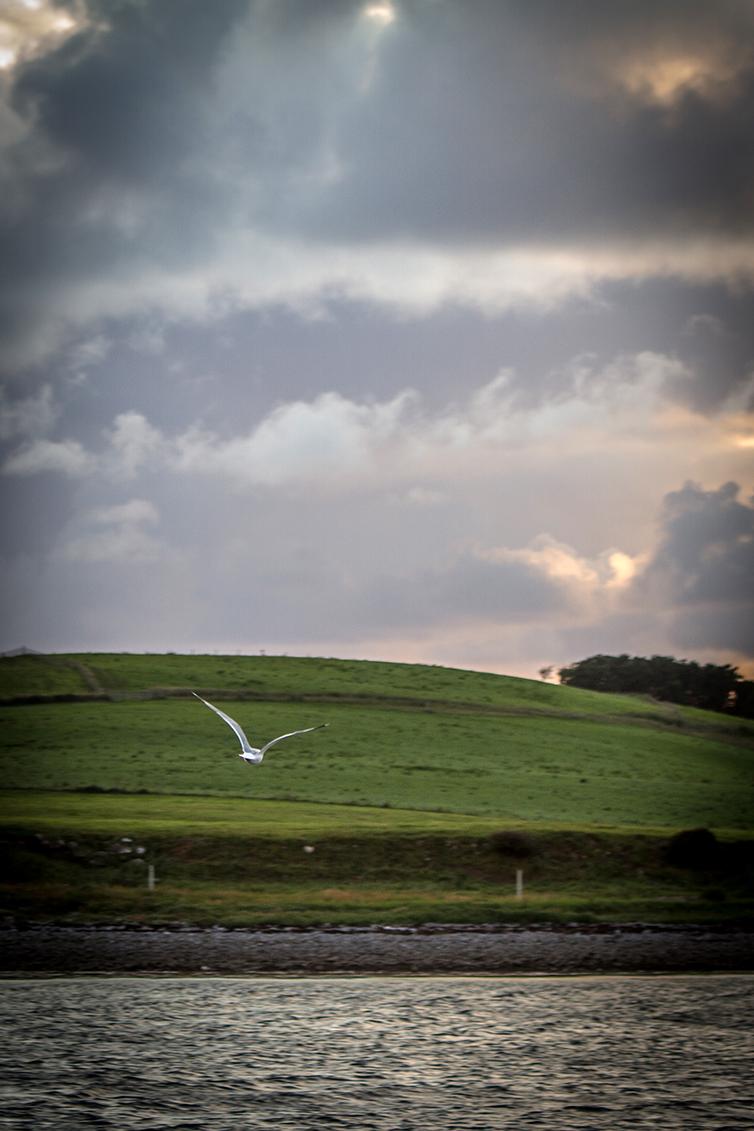 A seagull flies accross Westport Bay