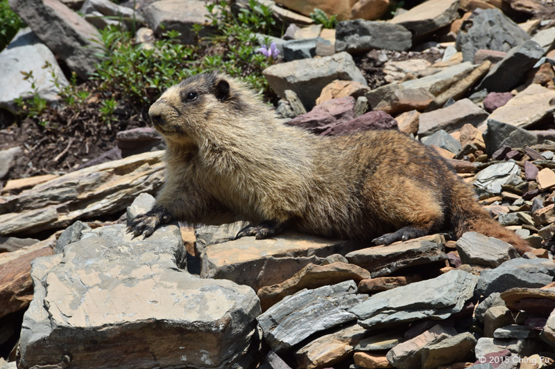 Yes, even the furry hoary marmot can be dangerous.