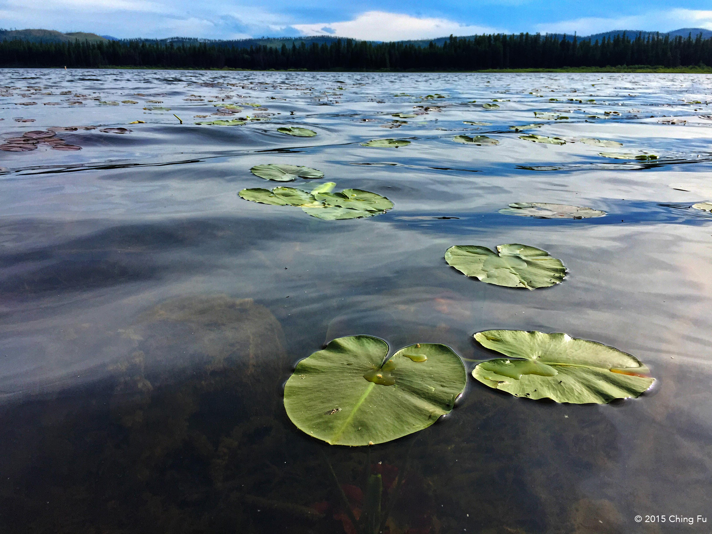 The canoe trail comes out into Seeley Lake on the northern end of the lake and it's covered in these lotus-like leaves.