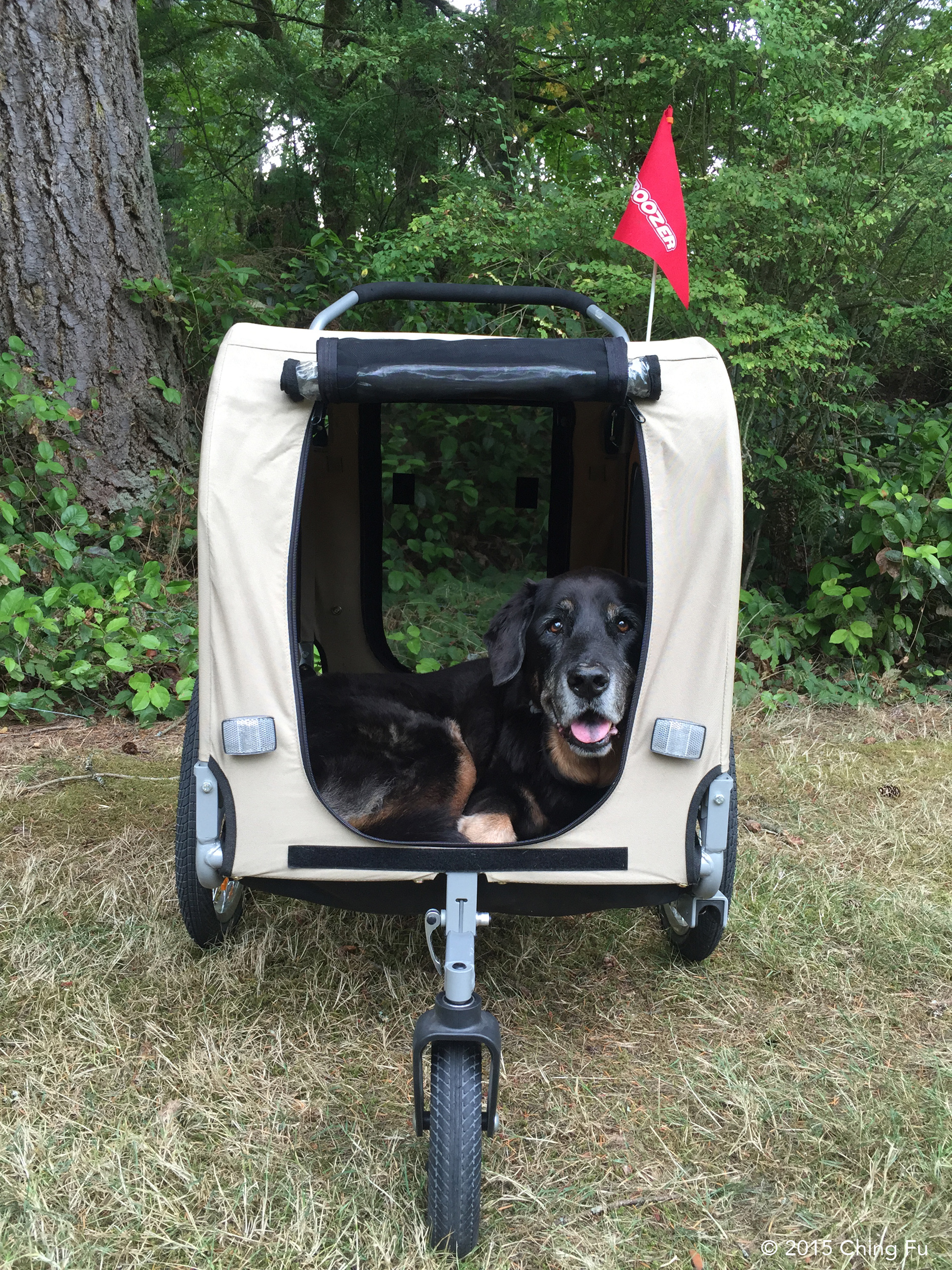 Tybee in her new Croozer dog trailer.