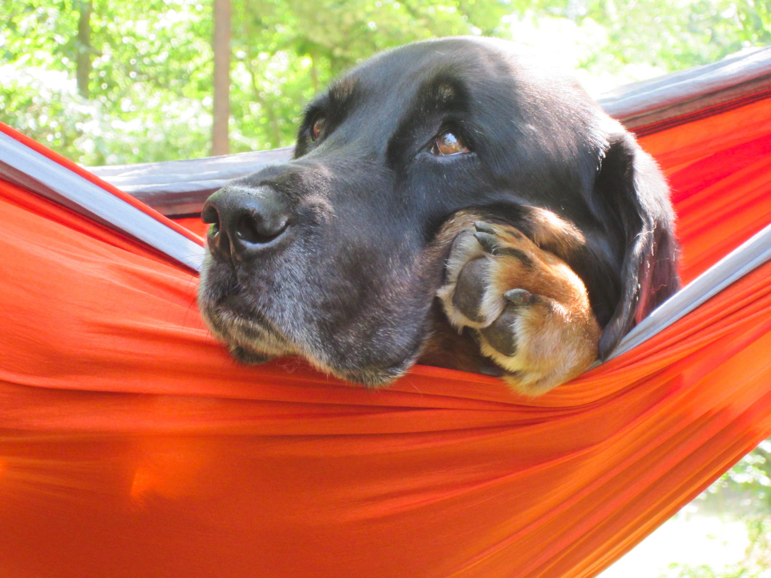 Tybee lounging in an ENO hammock.