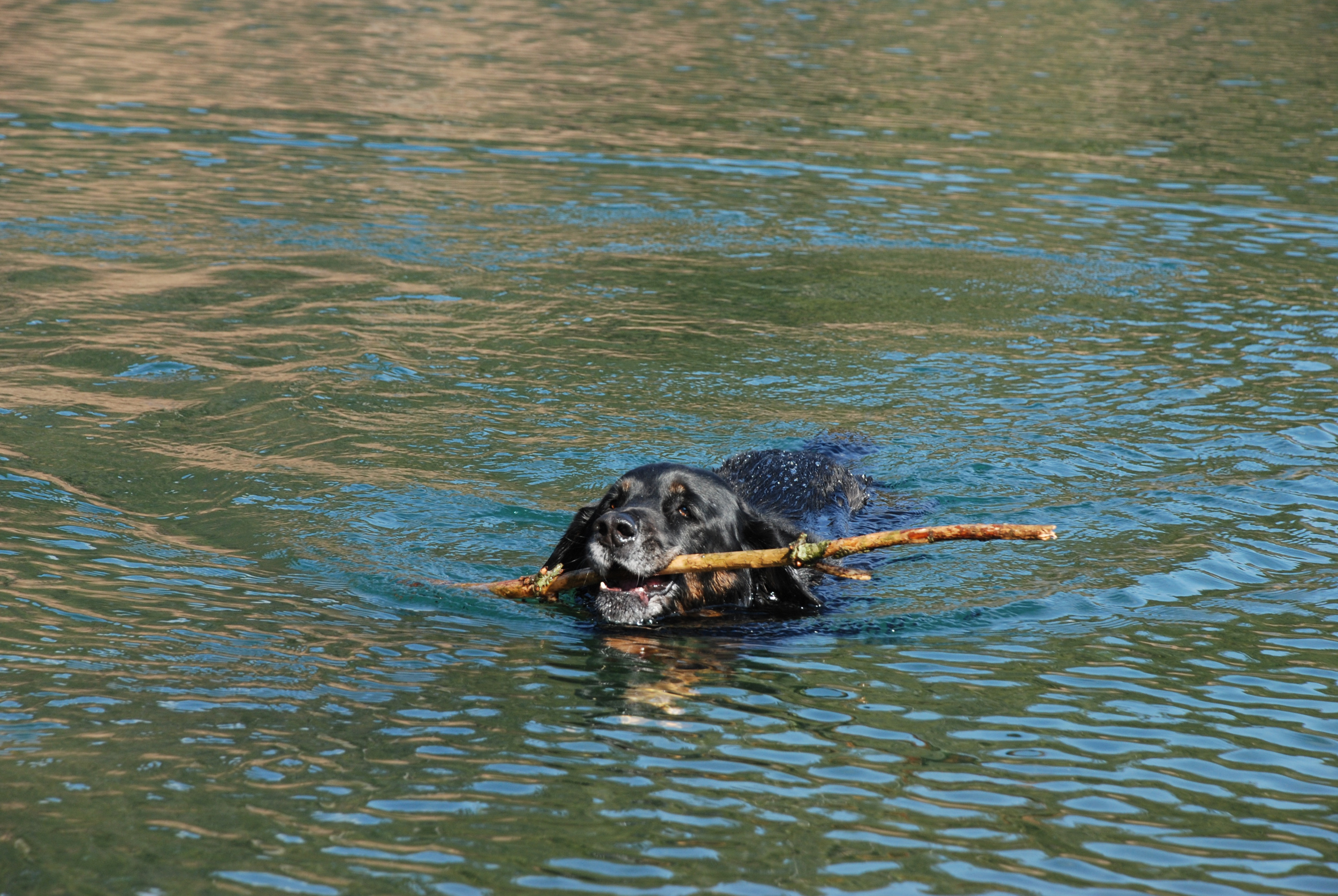 Tybee swimming back with a stick.