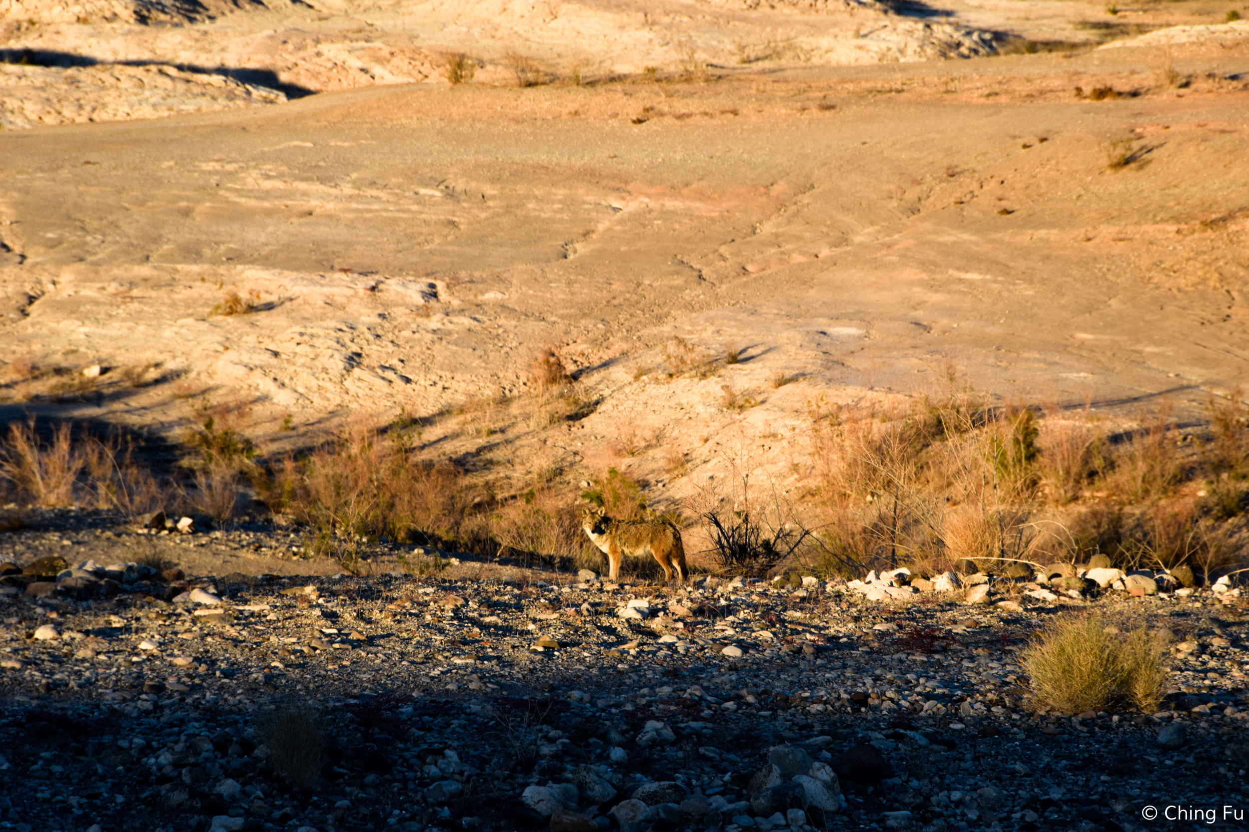 Two of the five coyotes that we saw wandering around Government Wash.