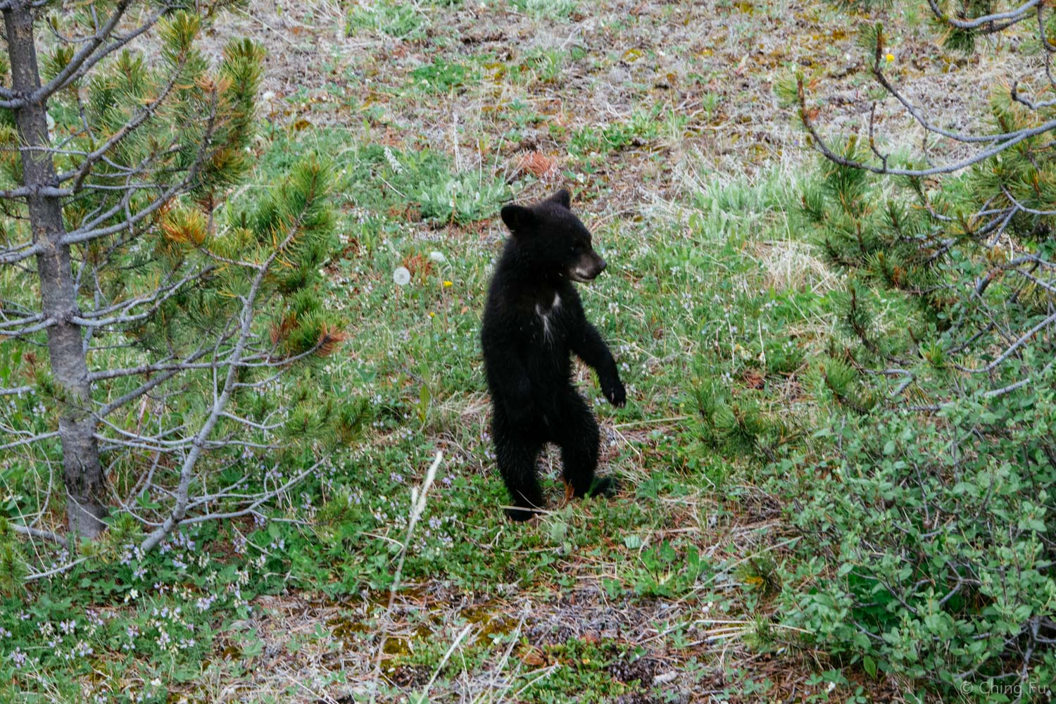 The cub was testing out her legs. She awkwardly walked a short bit before falling over. Ugh, so cute!