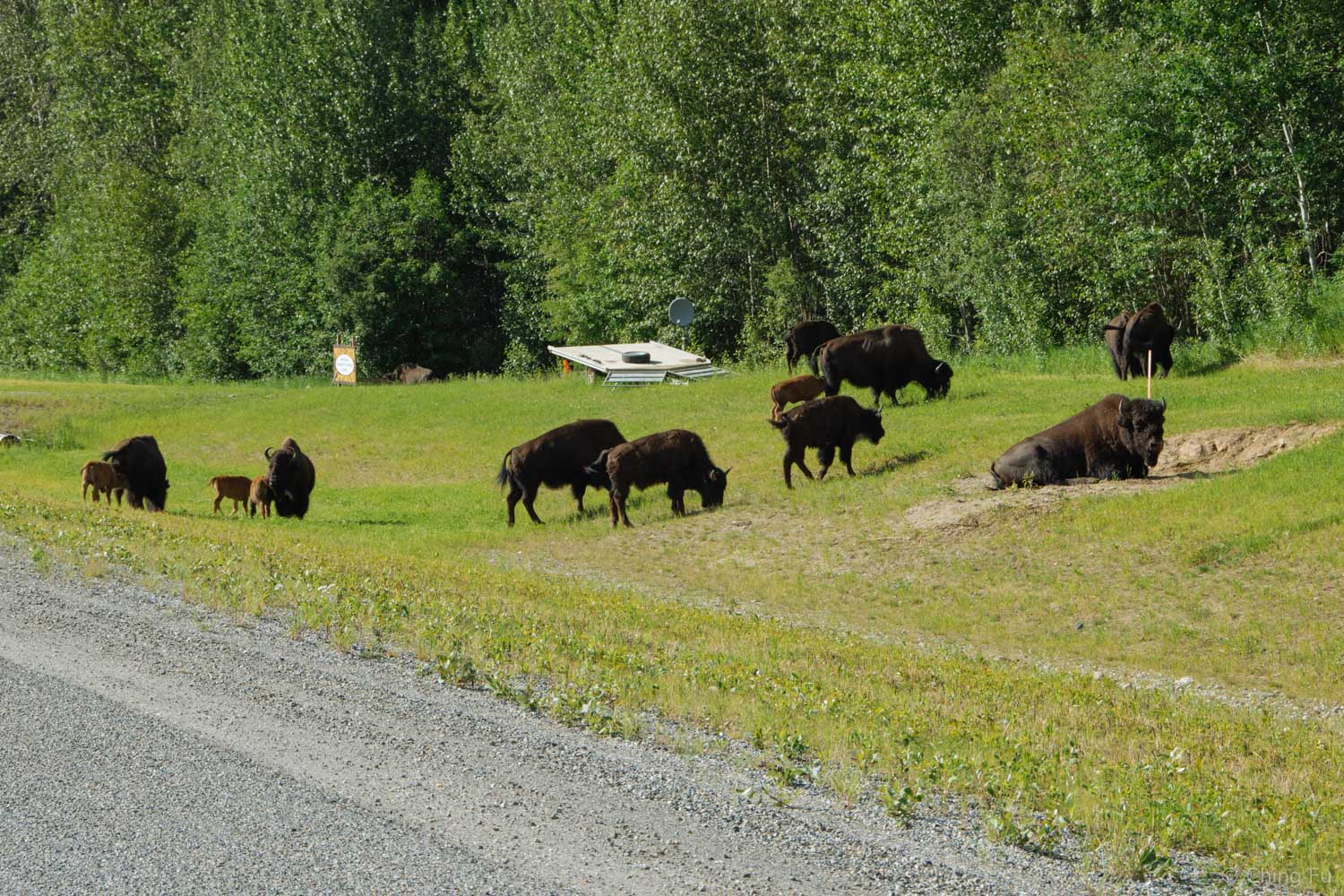 There are tons of bison along the Alaska Highway just outside Liard Hot Springs.