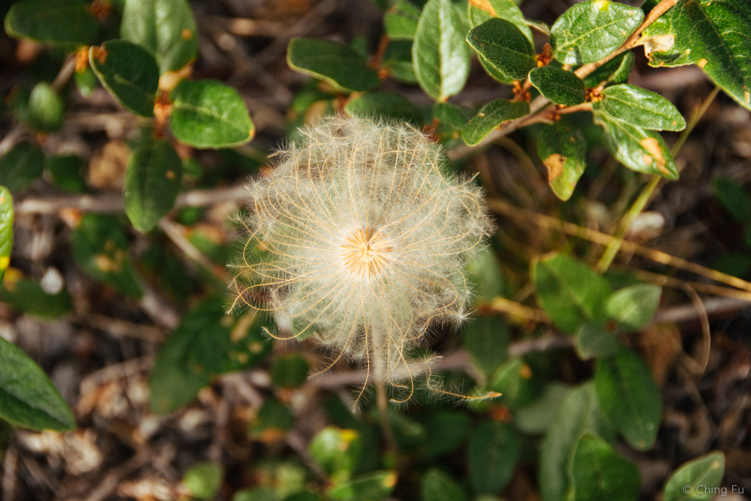 The yellow dryas remind me of something out of Dr. Seuss land. When in bloom the flowers have yellow petals. But when it's time to seed, the white wispy hairs take over the flowerhead and slowly unfurl. Yellow dryas are like the dandelion of Yukon!