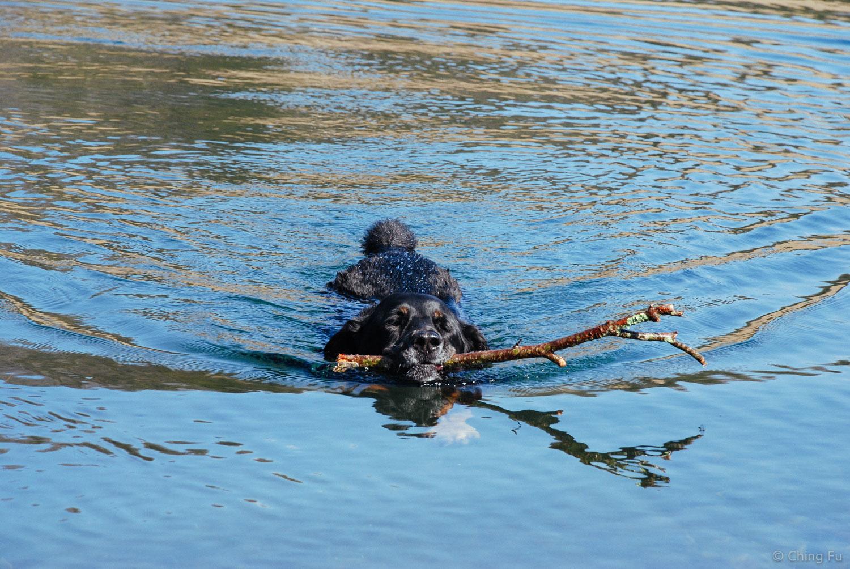Tybee bringing sticks.