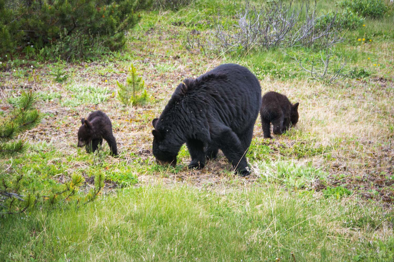 I took this photo from inside the truck that was parked on the side of the road. I zoomed in to get a closer view of the mama and her cubs.