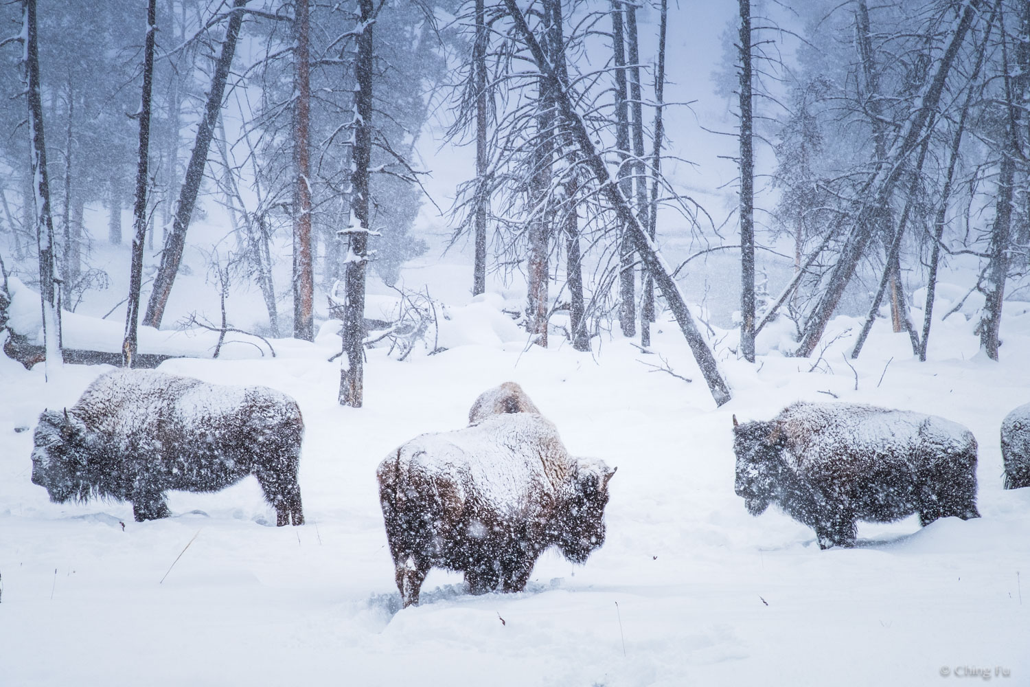 Herd of bison standing in the snow in Yellowstone National Park.