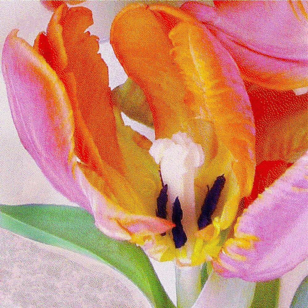Open Parrot Tulip
