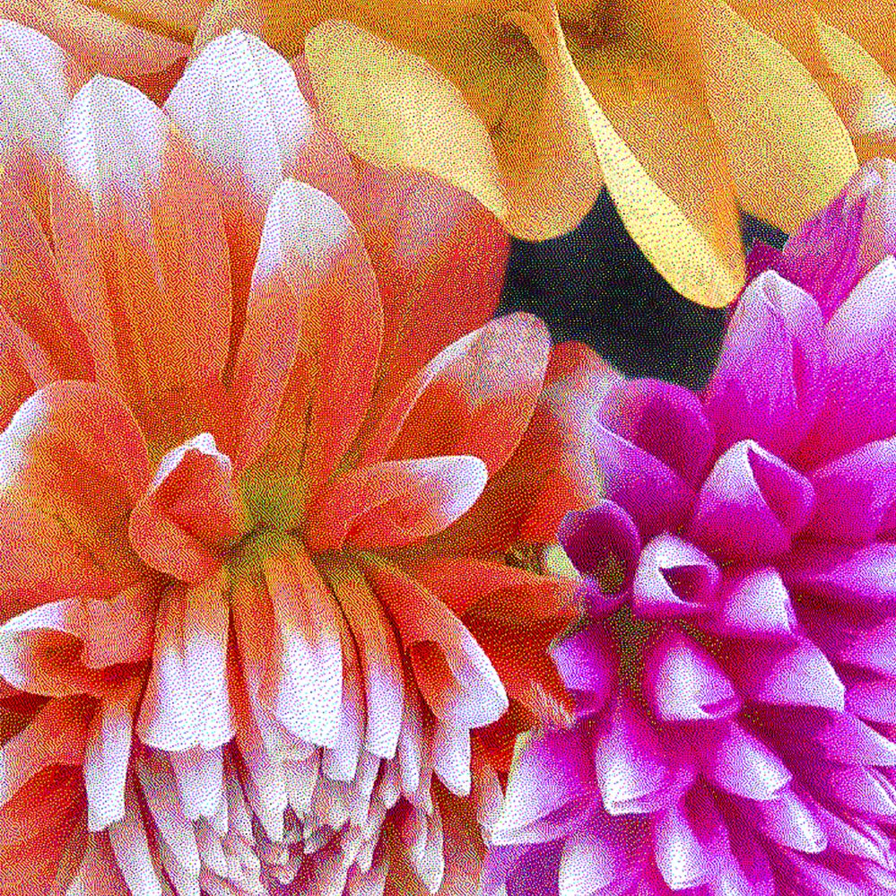 Orange Pink and Yellow Dahlia