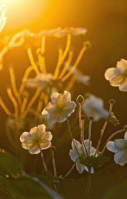 japanese+anemone+evening+light.jpg