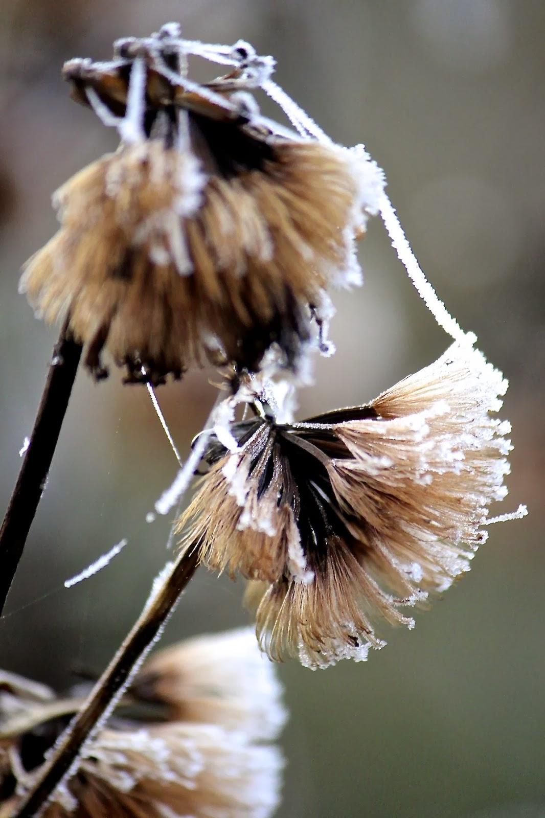freezingligulariaseeds.jpg
