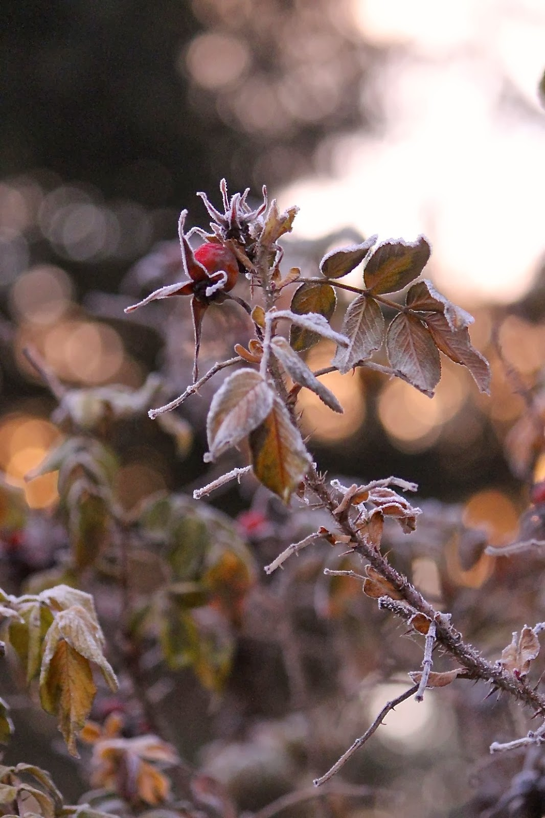 rosehipsunrise.jpg