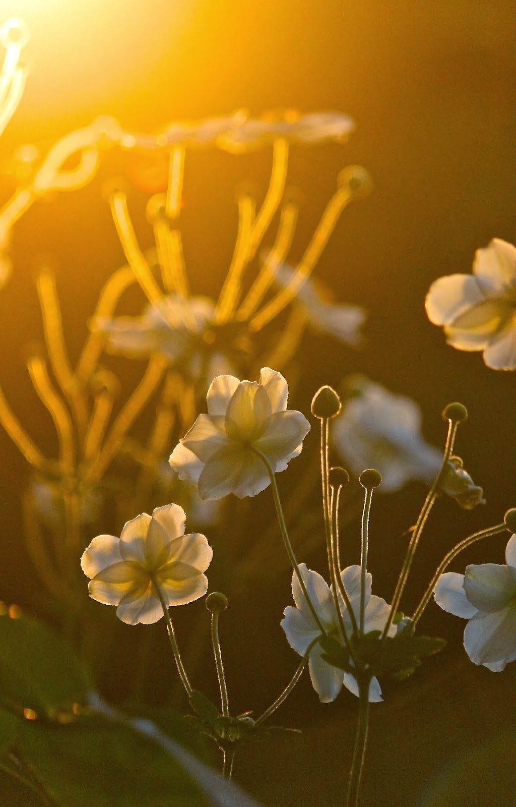 japanese+anemone+evening+light.jpg