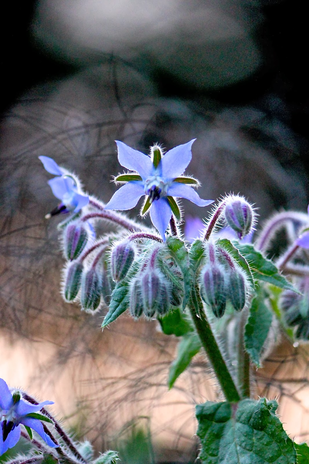 borage+blossom+at+dawn.jpg