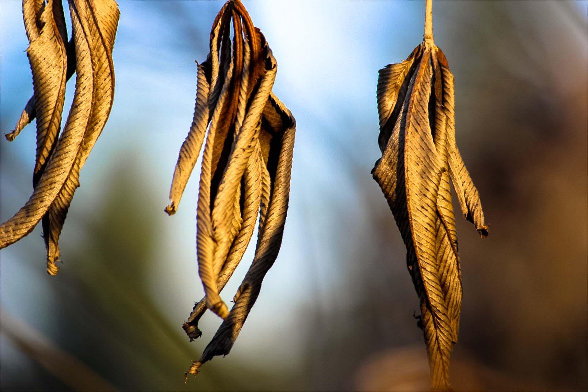 dryrubuslineatus.jpg