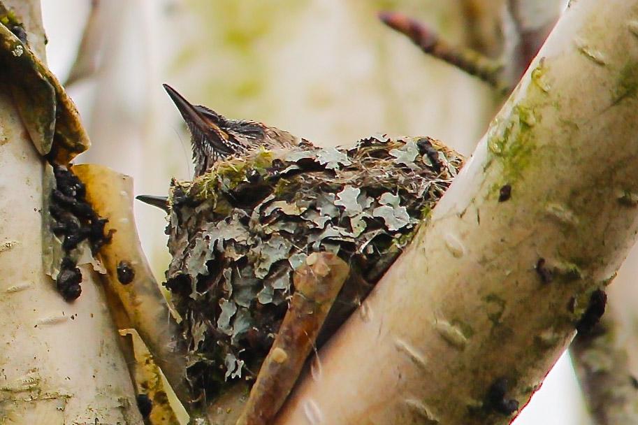 hummingbirdnest2.jpg