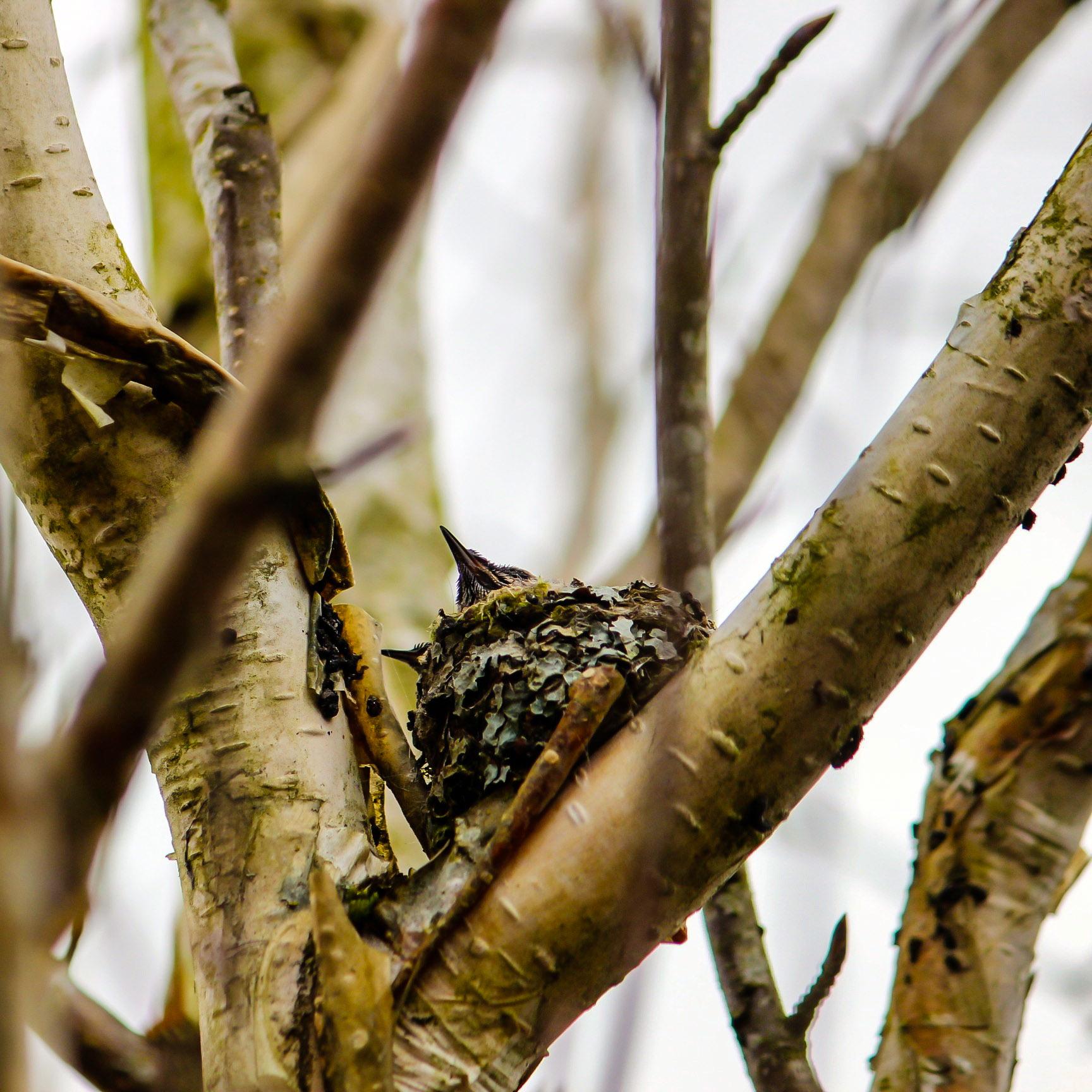 hummingbirdnest3.jpg