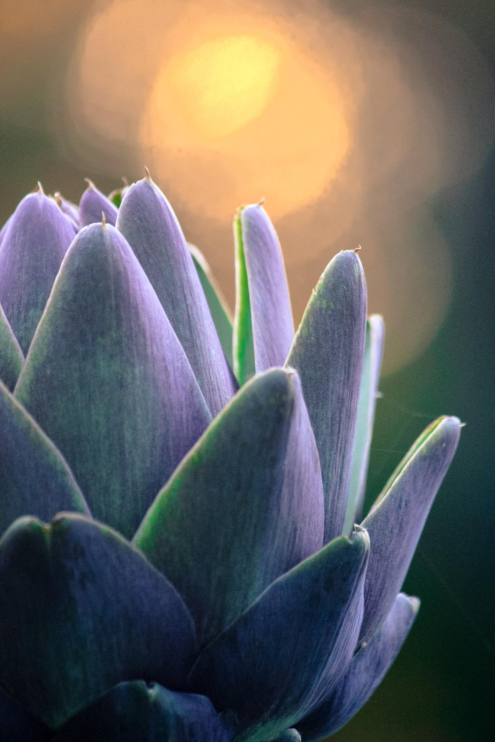 Violetto Artichoke Bloom