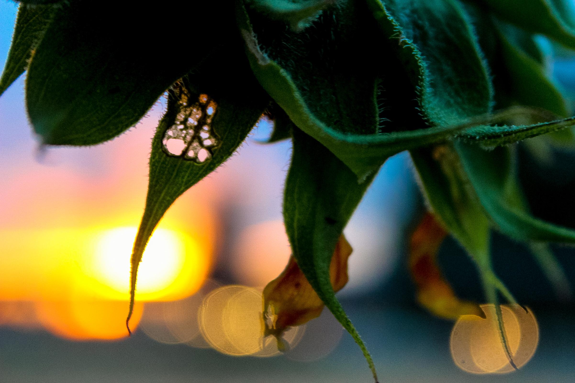 A sunflower's final sunset