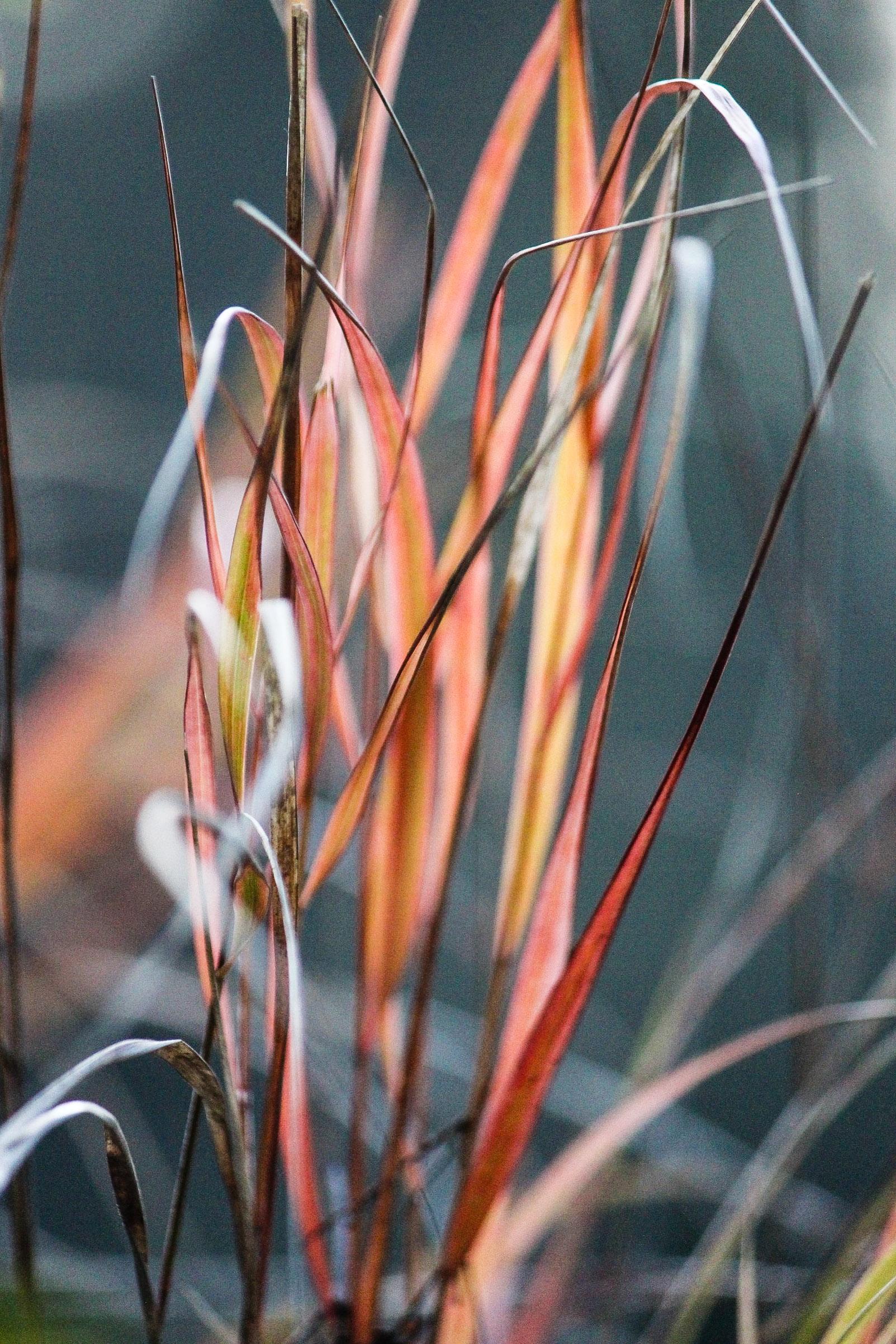 Anemanthele lessoniana , Pheasant Tail Grass